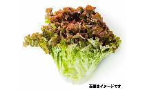 サニーレタス 1玉 【生鮮野菜】