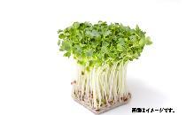 【生鮮野菜】 かいわれ大根 1パック