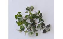ペパーミント 10g 【生鮮野菜】