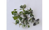 【生鮮野菜】 ペパーミント 10g