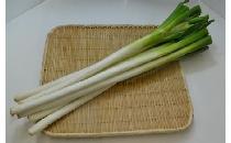 【生鮮野菜】 中国産長ネギ 1kg