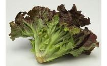 【生鮮野菜】 【ケース】サニーレタス 15個 15個